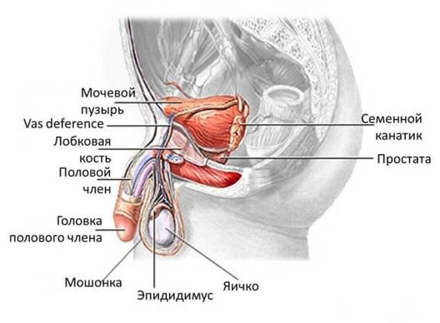 Эпидидимит у мужчин или воспаление придатка яичка: симптомы и лечение