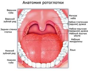 Ротоглотка: строение и функции, валлекулы, анатомия рта и глотки человека