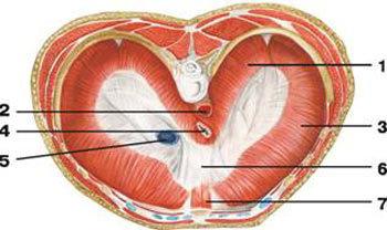 Анатомия диафрагмы человека: расположение, строение, кровоснабжение и функции