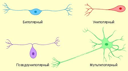 Нервная ткань, её строение и функции