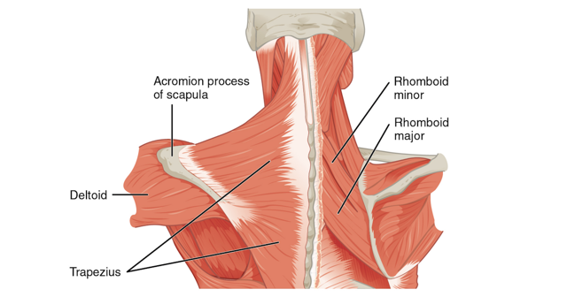 Что делать, если болит трапециевидная мышца спины слева или справа