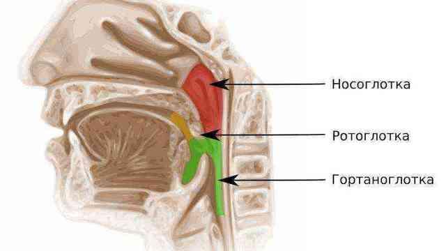 Носоглотка: строение в разрезе, функции, анатомия и структуры