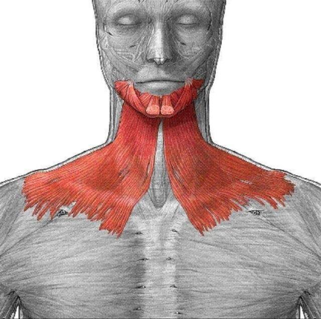 Подкожная мышца шеи: функции платизмы и где она находится