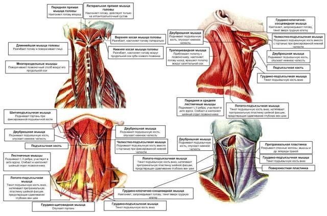 Мышцы головы и шеи: анатомия, таблица групп мышц, функции, расположение, иннервация и строение мышечной системы