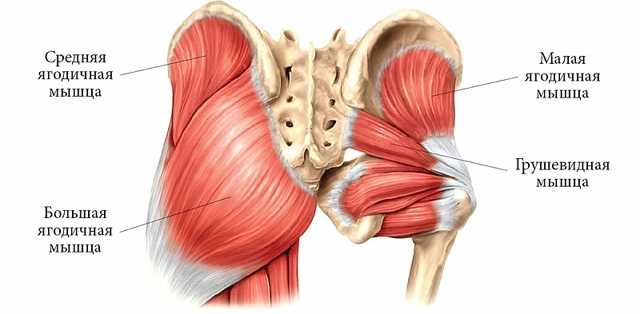 Мышцы таза у мужчин и женщин: строение, функции, иннервация и фото