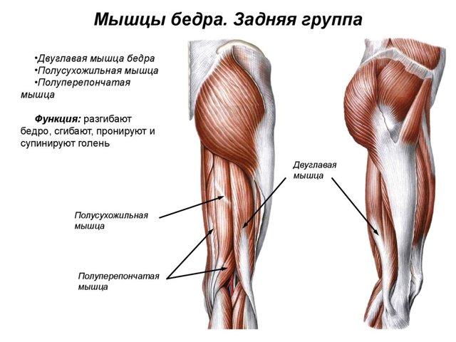 Анатомия мышц бедра: приводящая, прямая, полуперепончатая, латеральная, двуглавая,квадратная