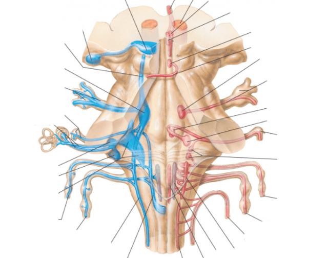 Значение черепно-мозговых нервов в организме людей