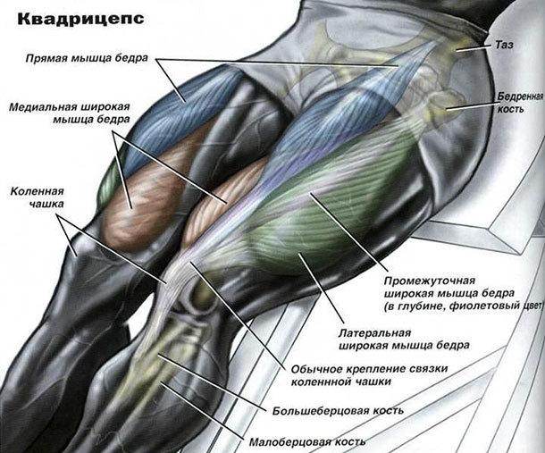 Мышцы квадрицепса и его анатомия: функции, сухожилия, головки, фото