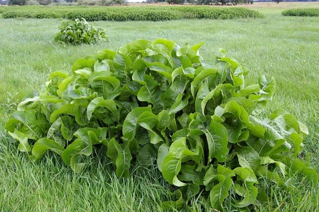 Лечение спины листьями хрена: как правильно прикладывать листья и делать компрессы, отзывы о лечении