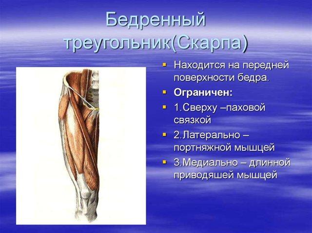 Бедро: где находится и анатомическое строение