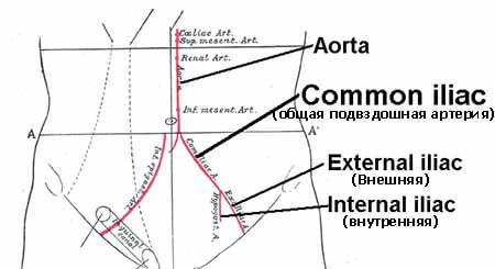 Подвздошная артерия: где находится, ветви и функции