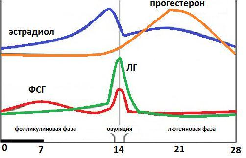 ФСГ гормон: норма и повышен, как правильно сдавать анализ и расшифровка результата