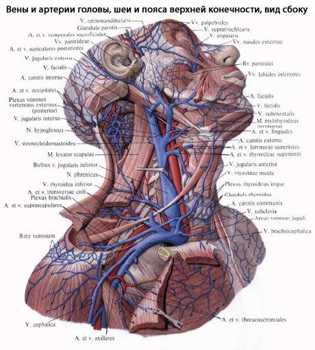 Сонная артерия: ветви, сегменты, анатомия, расположение, скорость кровотока