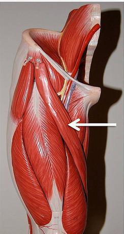 Портняжная мышца бедра: функции, расположение, иннервация и фото