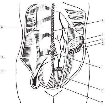 Анатомия живота у взрослых и детей: расположение, границы, строение и иннервация