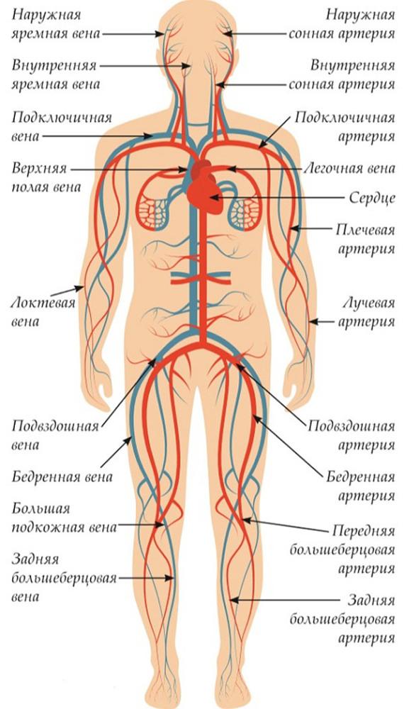 Что делать при повреждении бедренной артерии