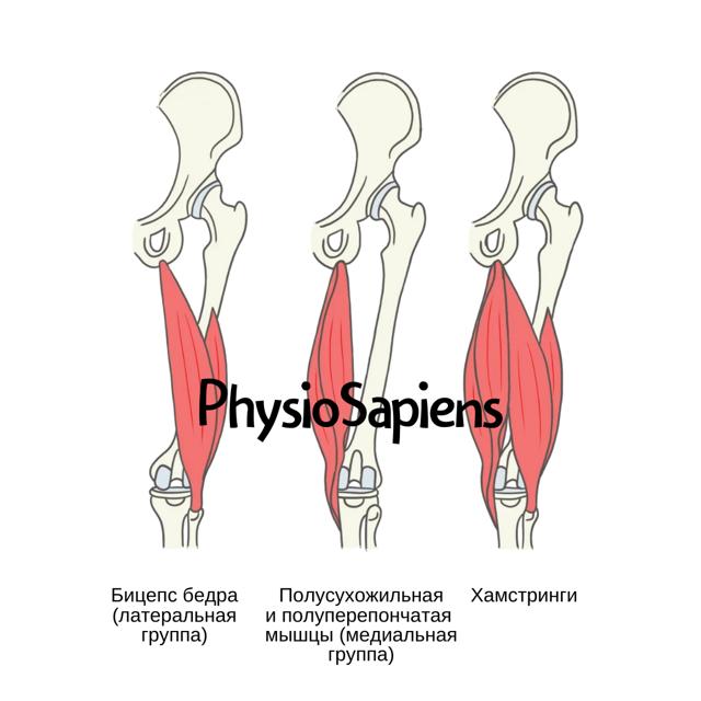 Бицепс бедра: анатомия, крепление , функции и фото