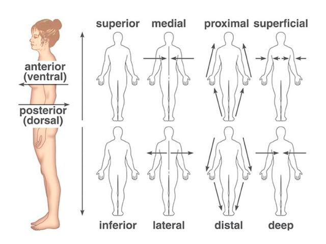 Мезогастрий: расположение, границы, области и проекции внутренних органов