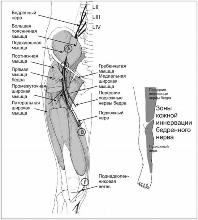 Топографическая анатомия бедренного нерва и его функции