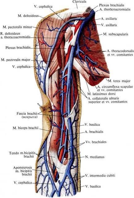Подключичная вена: анатомия, топография, где находится левая и правая подключичные вены