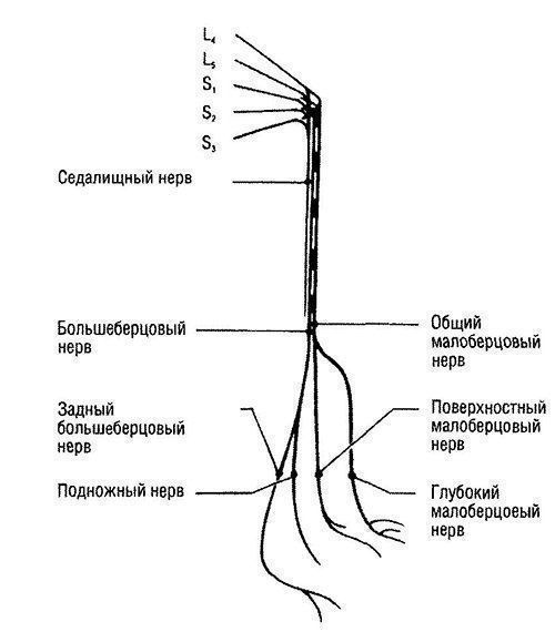 Схема иннервации бедра
