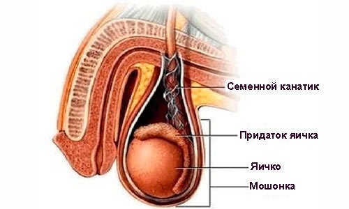 Член опух после секса или отек мошонки: причины опухоли и лечение