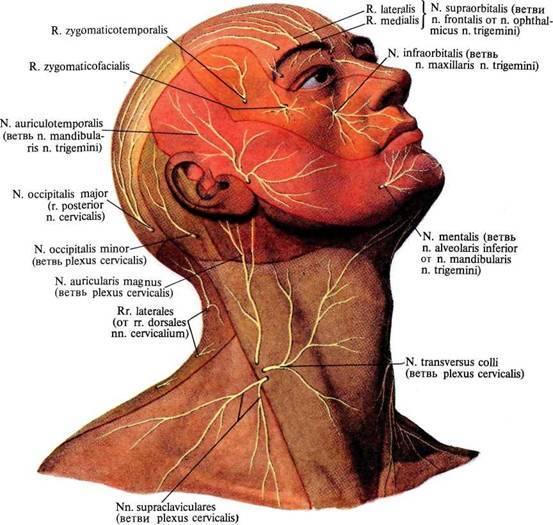 Нервы шеи и головы: анатомия, что иннервируют шейные нервы