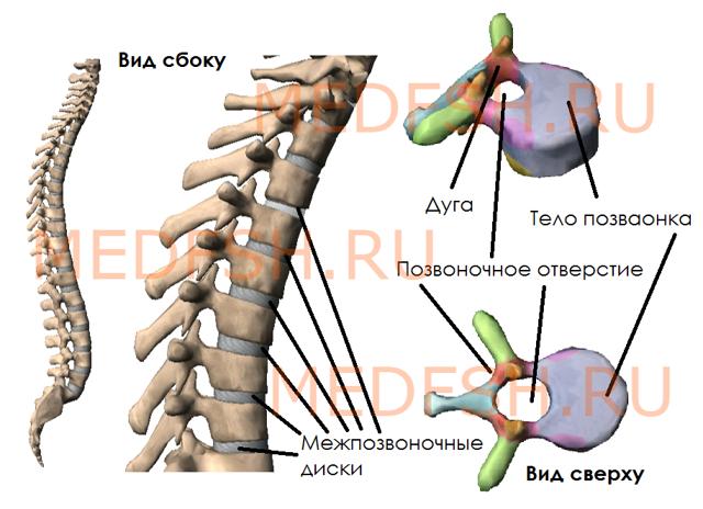 Остистые отростки шейных позвонков: зубовидный отросток с2 позвонка, полулунные, крючковидные, суставные, поперечные