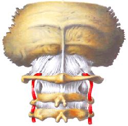 Остеопатия при шейном остеохондрозе: как остеопат лечит остеохондроз шейного отдела