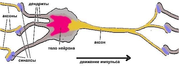 Серое и белое вещество головного мозга и его функции