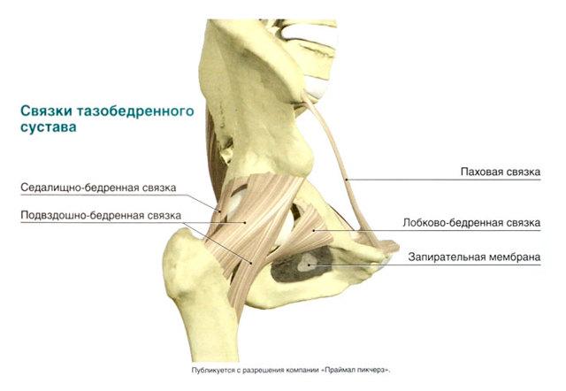 Наружная запирательная мышца: начало, прикрепление, иннервация и функции