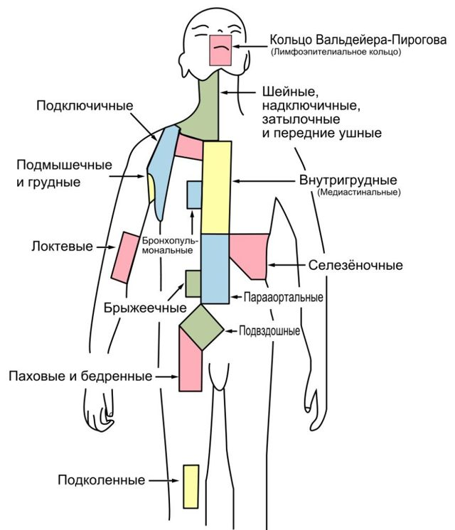 Лимфатические узлы таза у мужчин и женщин: классификация, отличия в строении и функции