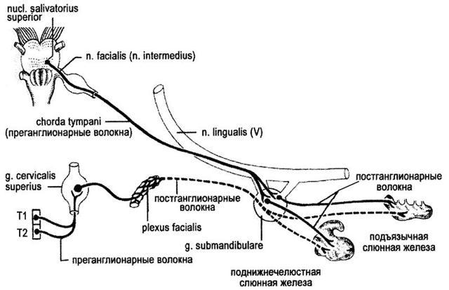 Подъязычный нерв: схема иннервации, анатомия, ядро, каналы и ветви, функции