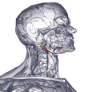 Подъязычные мышцы шеи: челюстно-подъязычная, подбородочно-подъязычная, шилоподъязычная, грудино-подъязычная, щитоподъязычная - их функции и расположение