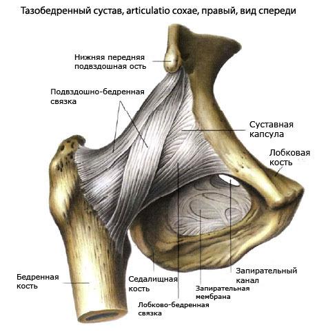 Связки бедра: анатомия и функции