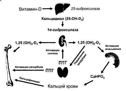 Паращитовидная железа: что это такое, ее функции, анатомия и строение, расположение, физиология, клетки околощитовидной железы