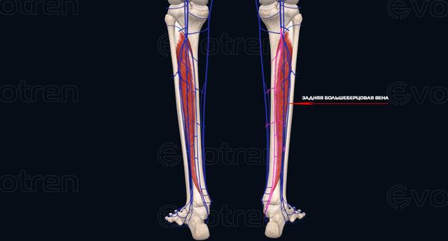 Задняя большеберцовая мышца и её функции: причины слабости, упражнения для тренировки