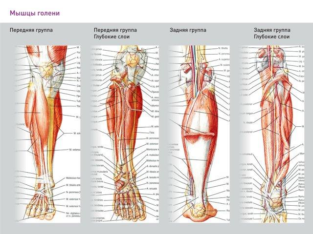 Болит передняя большеберцовая мышца: причины, упражнения для тренировки, сухожилия, опухоль
