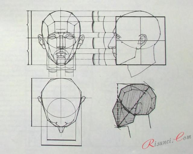 Средняя длина и ширина головы в см, пропорции тела человека в головах