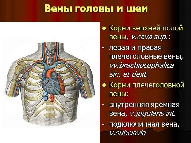 Артерии и вены головы: особенности артериального кровоснабжения мягких покровов свода черепа, внутричерепные притоки, анатомия сосудов головы, три венозных коллектора
