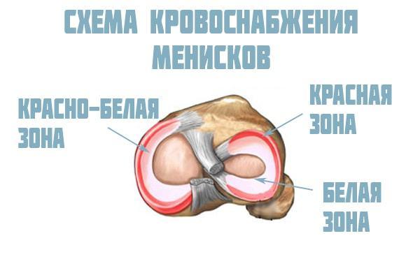 Анатомия и строение мениска коленного сустава: функции и расположение
