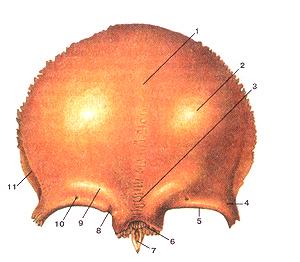 Теменная кость черепа: что такое на латинском, анатомия, строение, вид изнутри