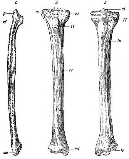 Большеберцовая кость: анатомия и строение, расположение, метафиз и эпифиз, боли при беге и ходьбе, фото