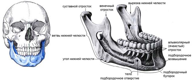 Сошник: что это за кость лицевого отдела черепа, где находится, в состав чего входит