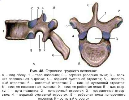 Сосцевидный отросток: структура кости, границы, какие встречаются типы строения