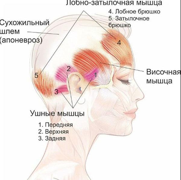 Апоневроз головы: что такое височный и надчерепной апоневроз, что соединяет сухожильный шлем, полезные упражнения