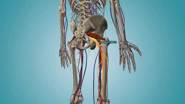 Щечная мышца: анатомия, функции, иннервация, прикрепление, как называется на латыни мышца трубачей