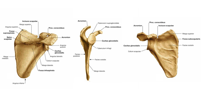 Слезная кость анатомия, название на латинском