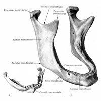 Решетчатая кость: анатомия, как на латинском, толщина продырявленной пластинки
